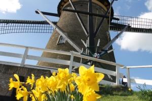 Daffodils and Windmills