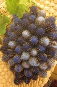 Pine cone close up