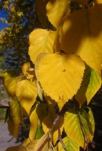 golden-birch-leaves