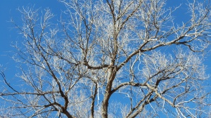 Blue skies through a cottonwood tree
